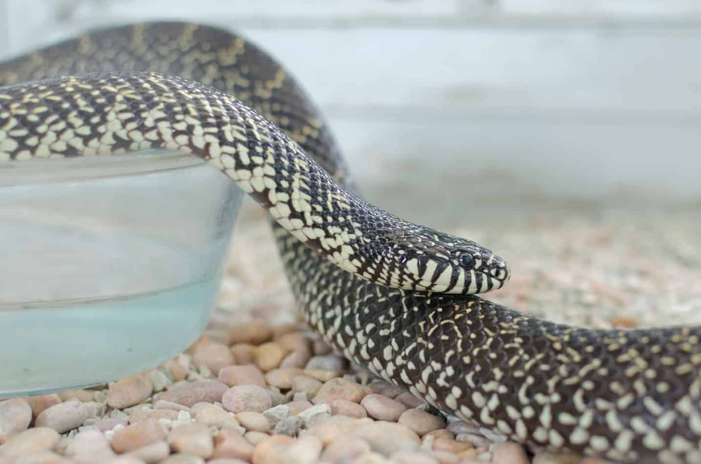 Can King Snakes Cohabitate?