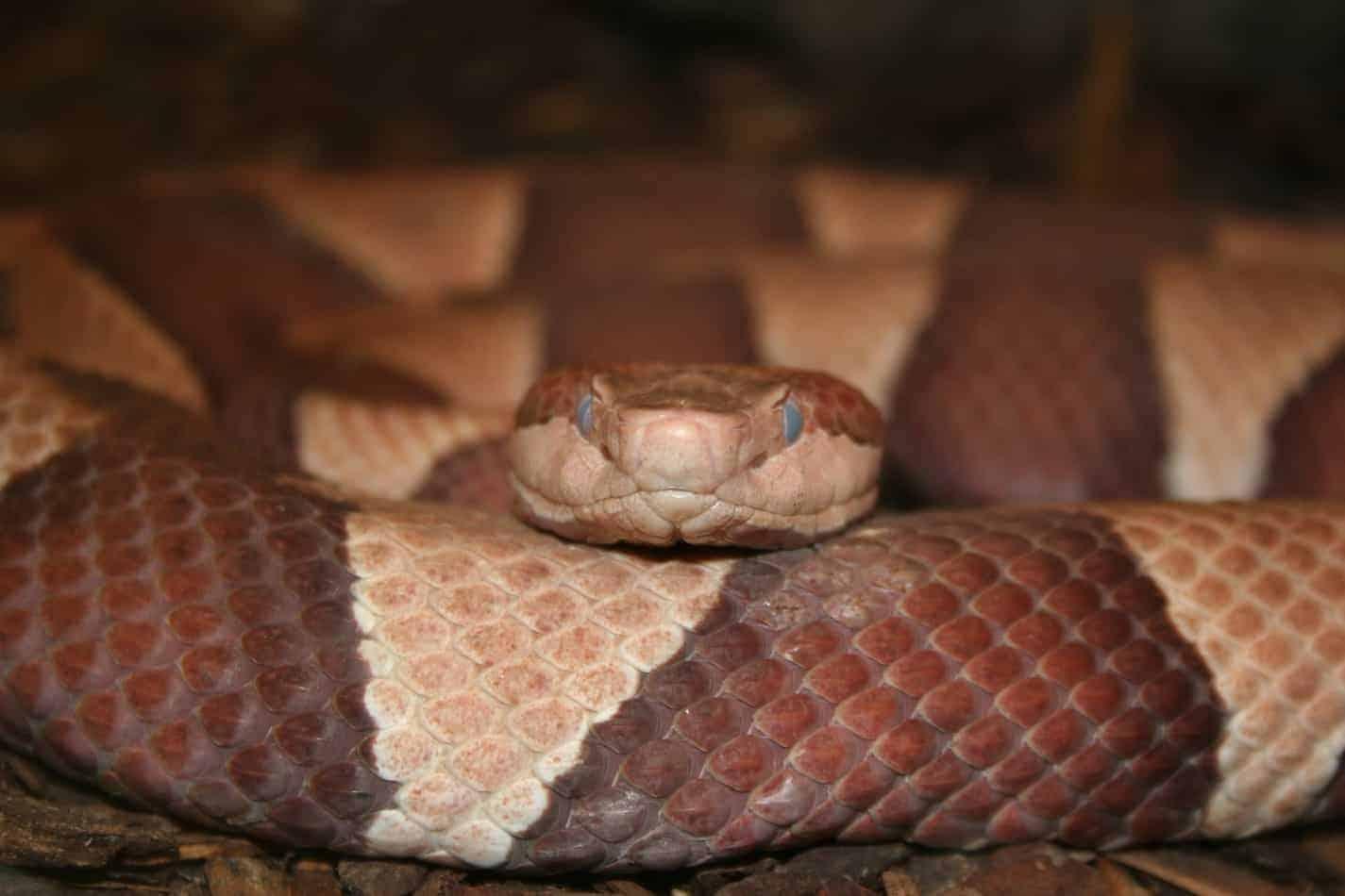 Corn Snake vs Copperhead Snake