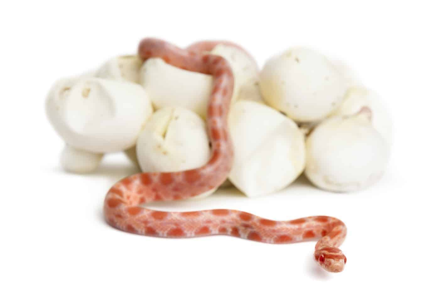 How Many Times a Year do Corn Snakes Lay Eggs?