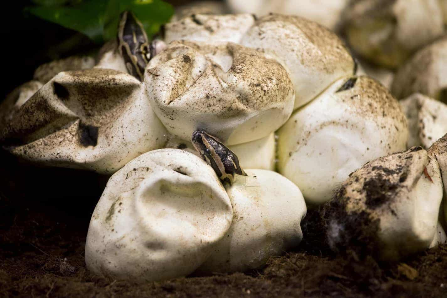 How Long Does it Take for Python Eggs to Hatch (and the Survival Rate)?