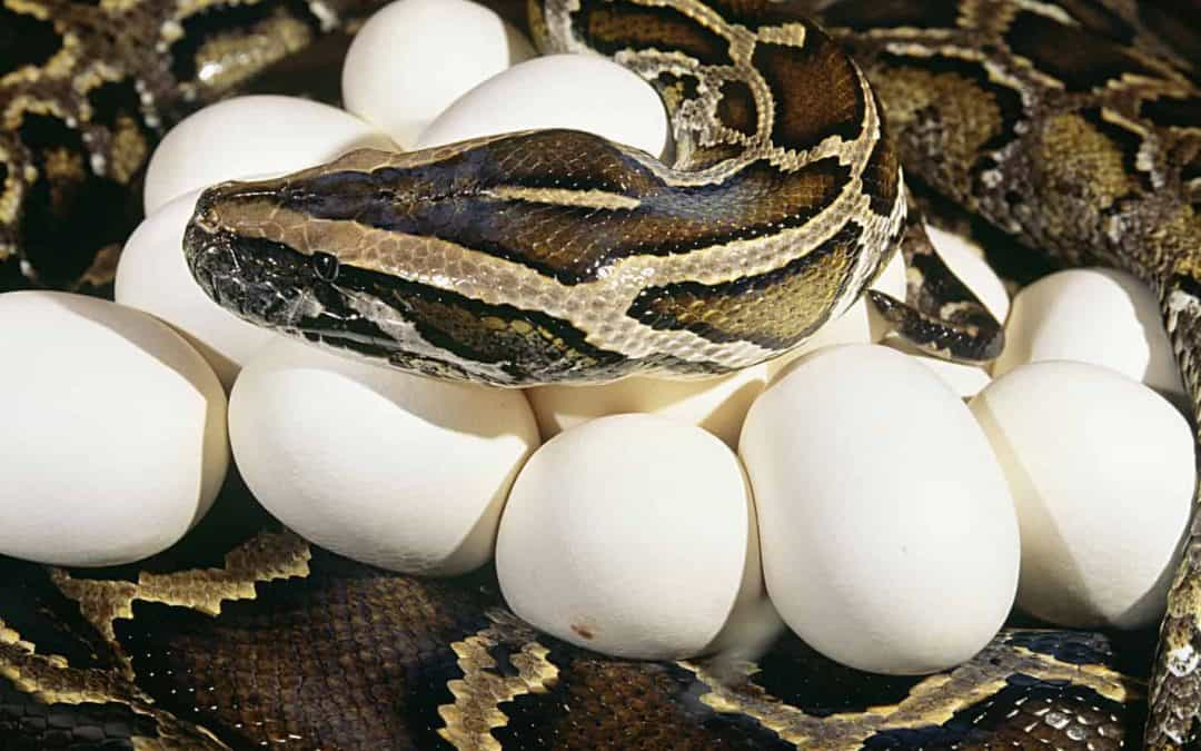 How to Breed a Ball Python (With Timeline and Pictures)