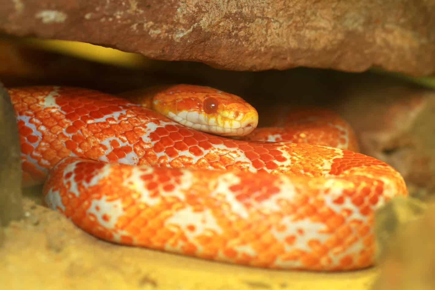 What's the Temperament of a Corn Snake?
