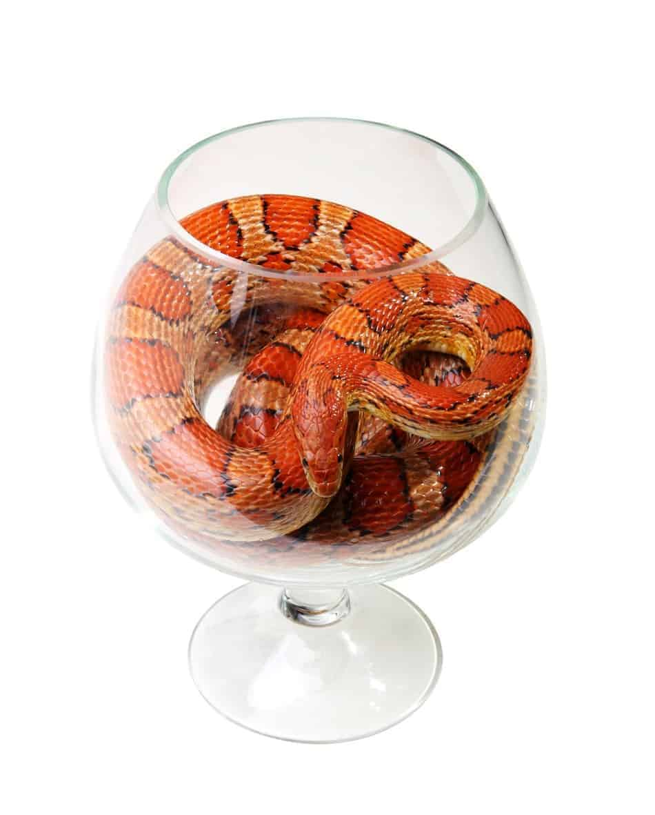 Can Corn Snakes be Tamed?