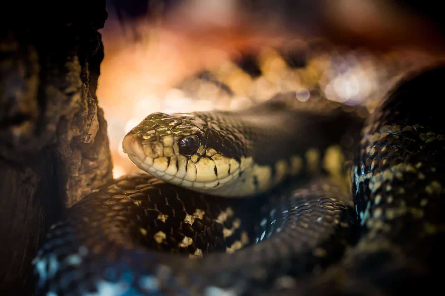 Can Snakes and Lizards Live Together?