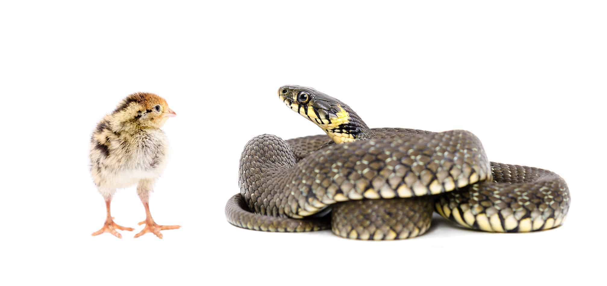 Can Pet Snakes Eat Chicken?