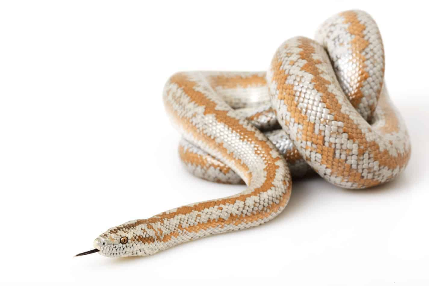 Can Rosy Boa Snakes Live Together In One Cage?