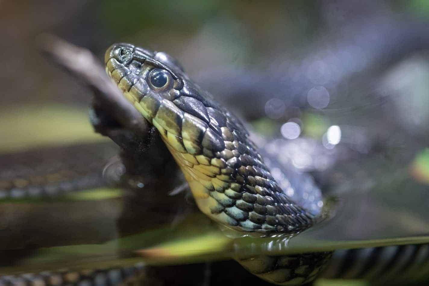 Do Garter Snakes Make Good Pets?