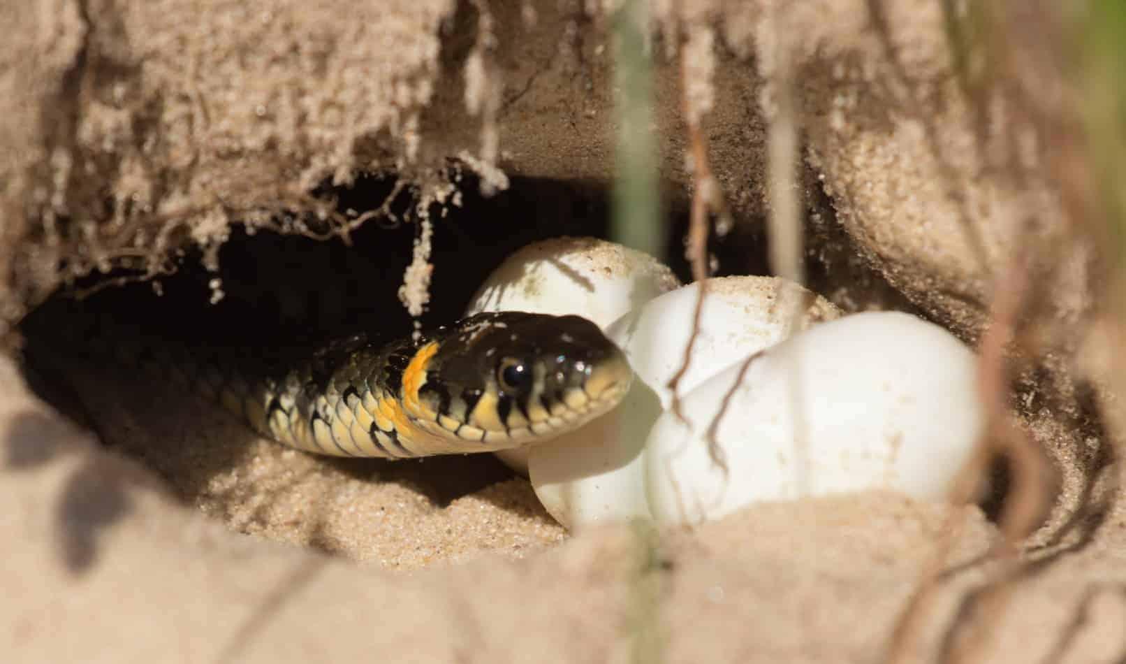 Do Snakes Nurse Their Young?