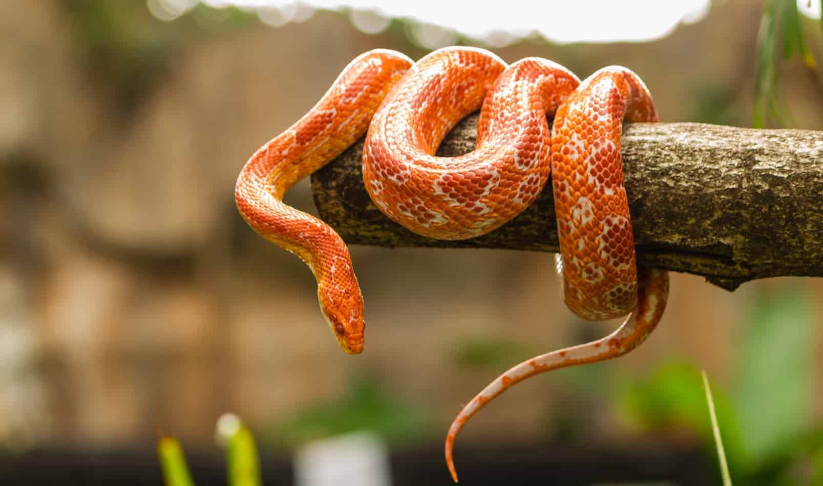 How Big Do Corn Snakes Get (And How Long Does it Take For Them to Grow)?