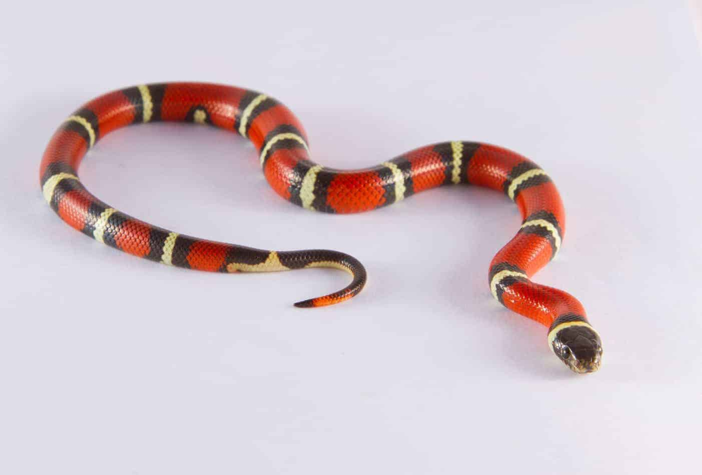How Long Do Milk Snakes Get (and How Long it Takes to Grow)?