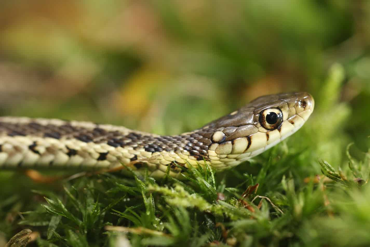 How to Get Rid of a Garter Snake!