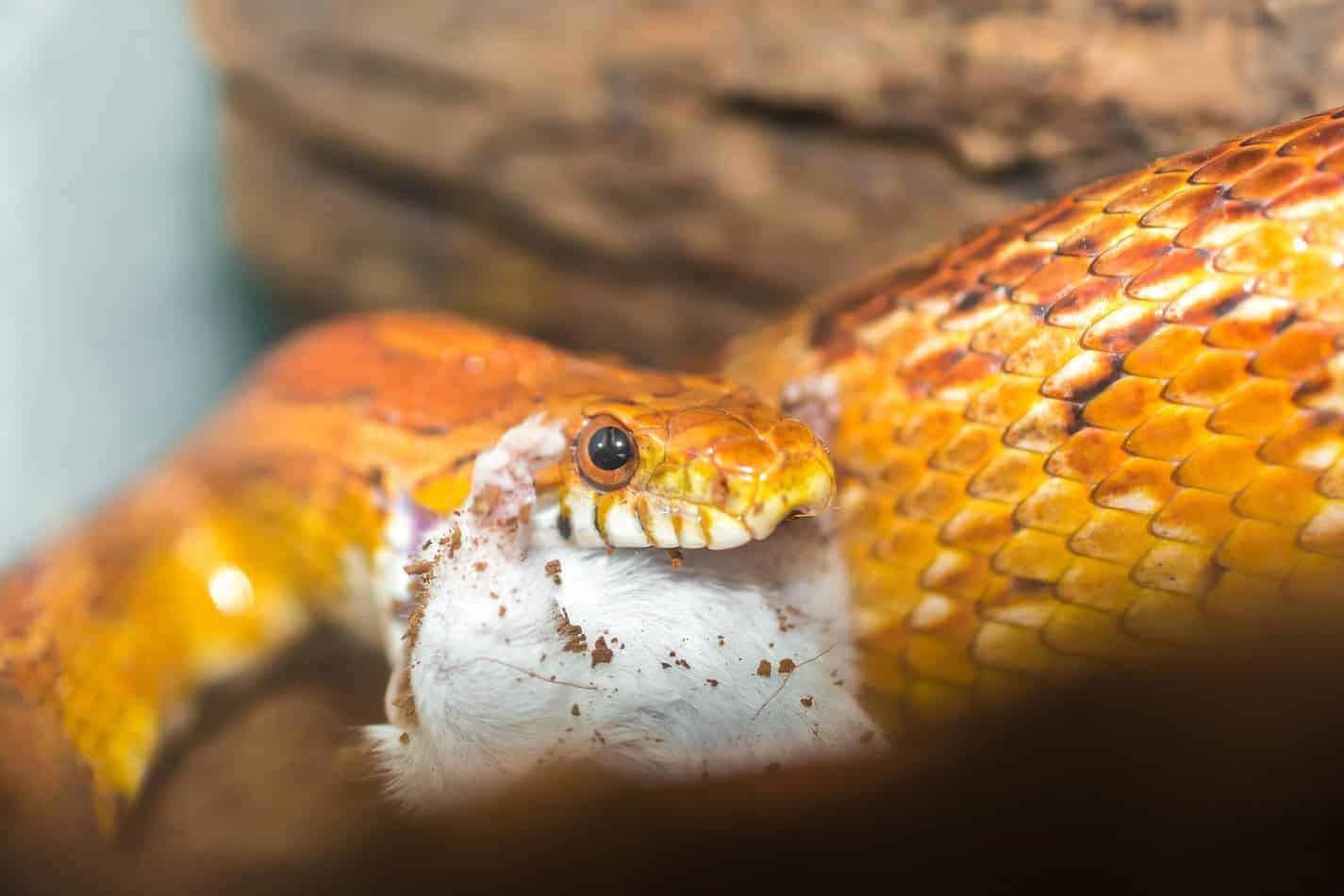 What Do Corn Snakes Eat in the Wild and in Captivity?