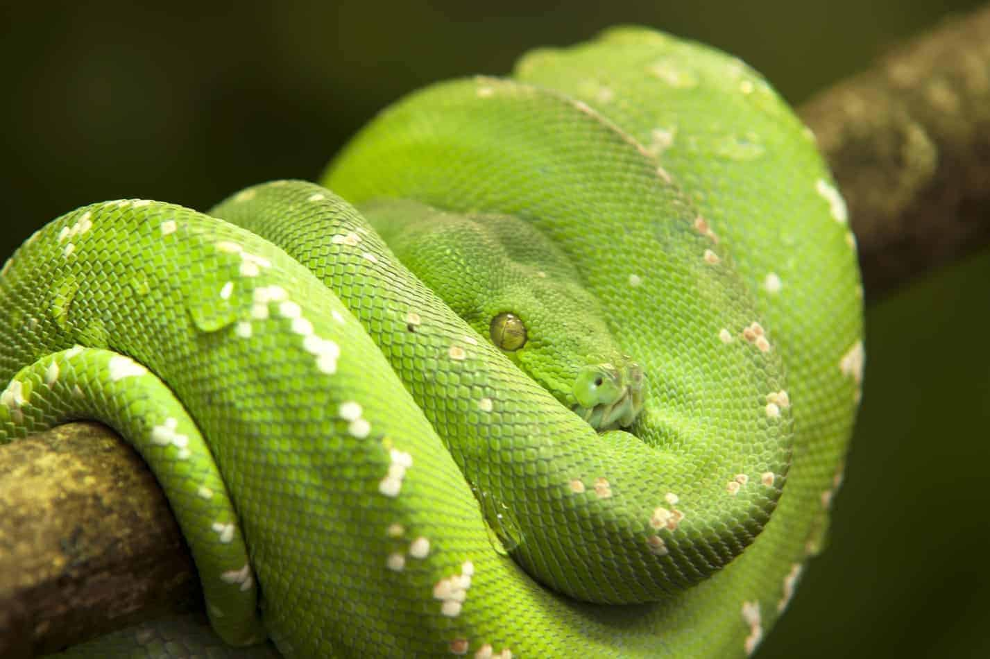 Popular Snake Breeds that are Green
