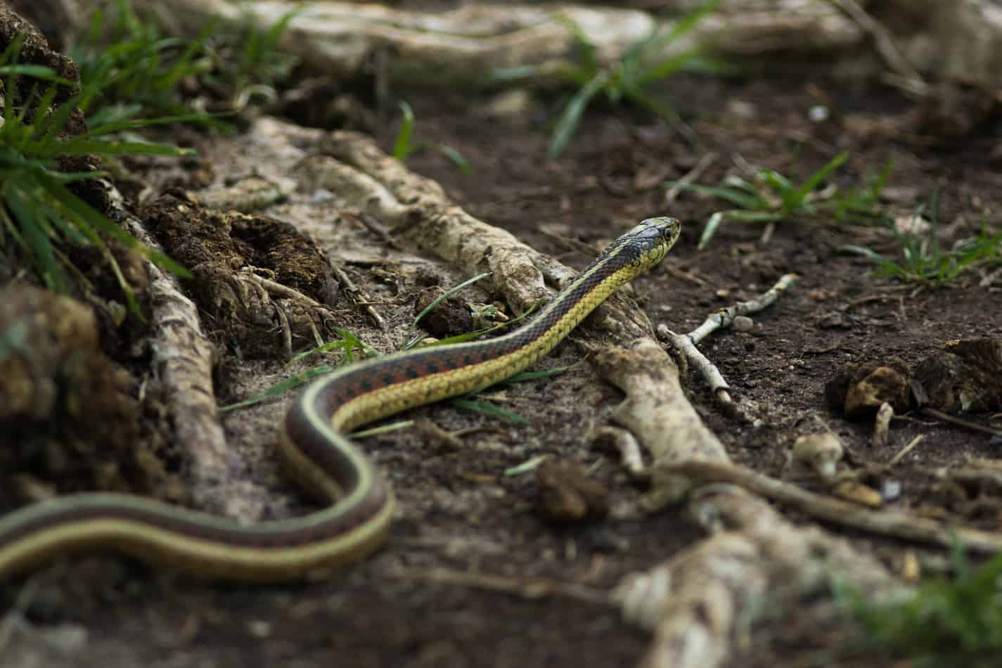 What's the Difference Between a Garden Snake and a Garter Snake?