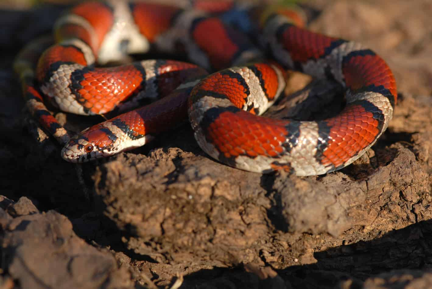 What's the Temperament of a Milk Snake? - Embora Pets