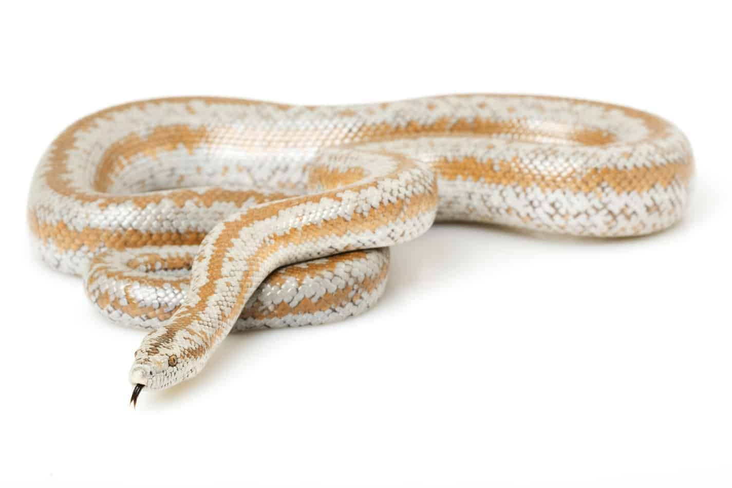 What's the Temperament of a Rosy Boa Snake?