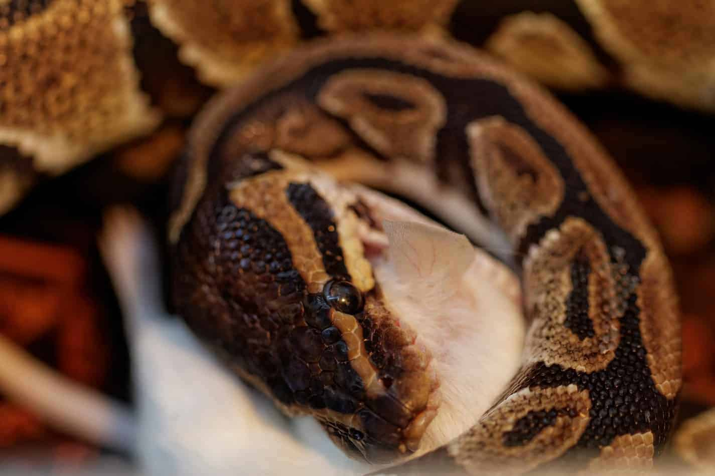 Why Feed Pet Snakes Dead Mice?