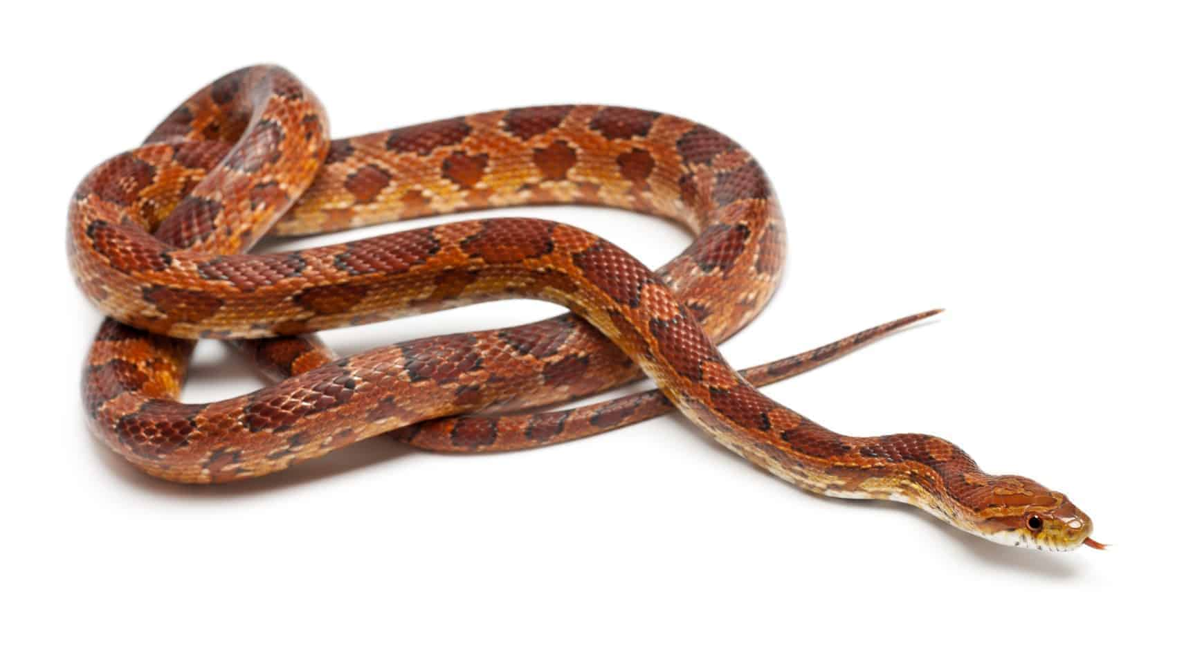 10 Pros and Cons of Having a Corn Snake as a Pet
