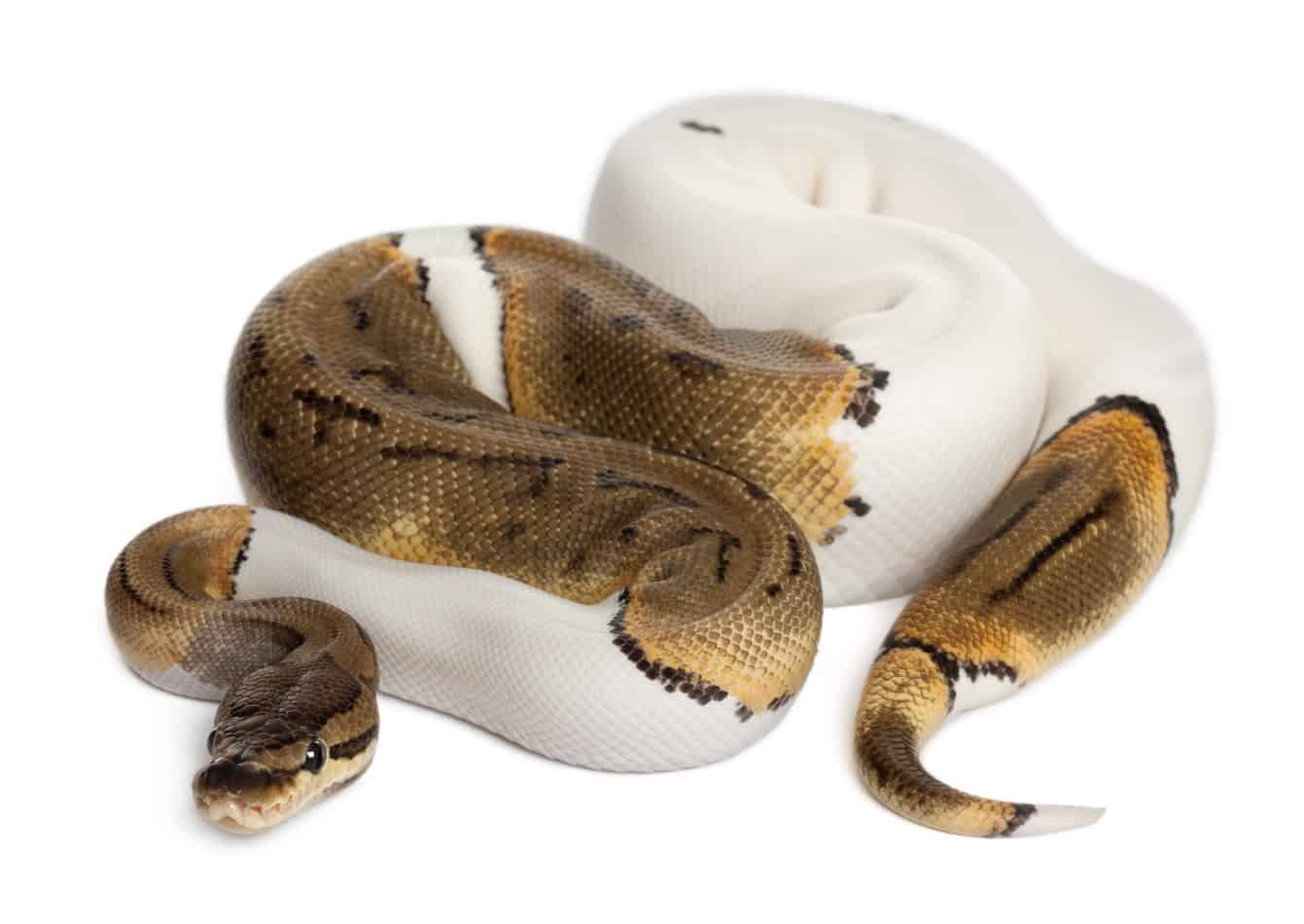 11 Cool Facts About Pied Ball Pythons
