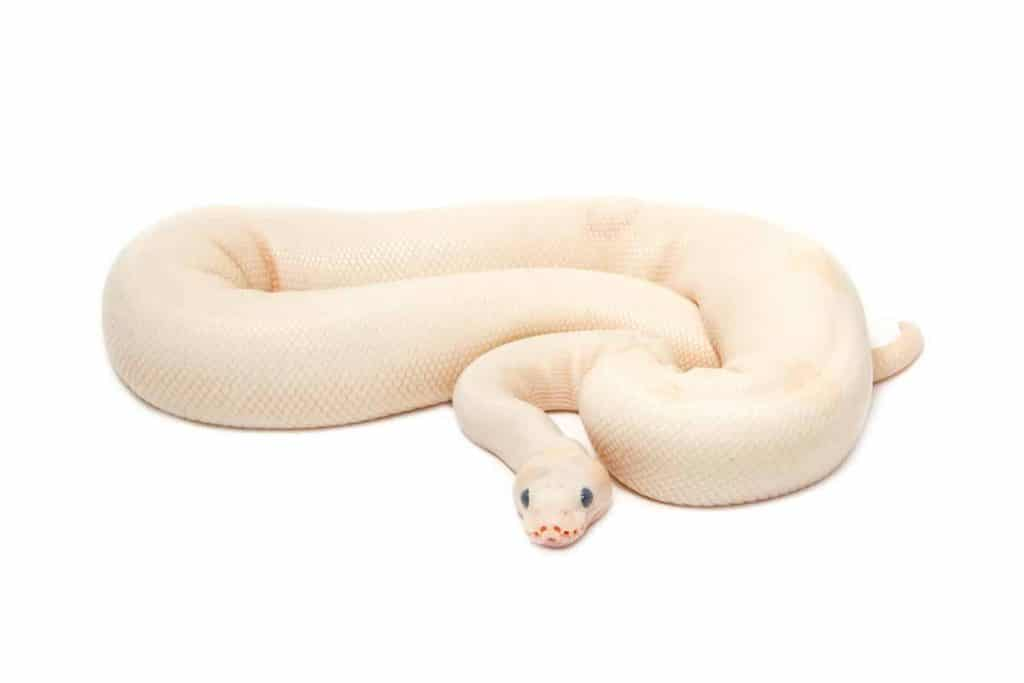 13 Cool Facts About Albino Ball Pythons Embora Pets
