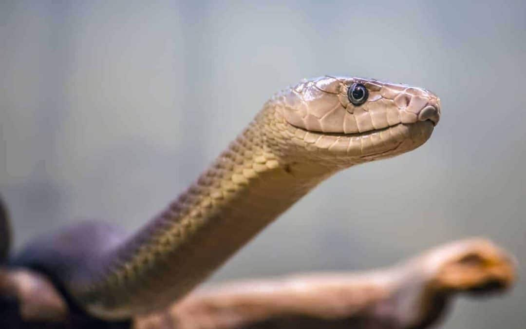 17 Interesting Facts about Black Mamba Snakes