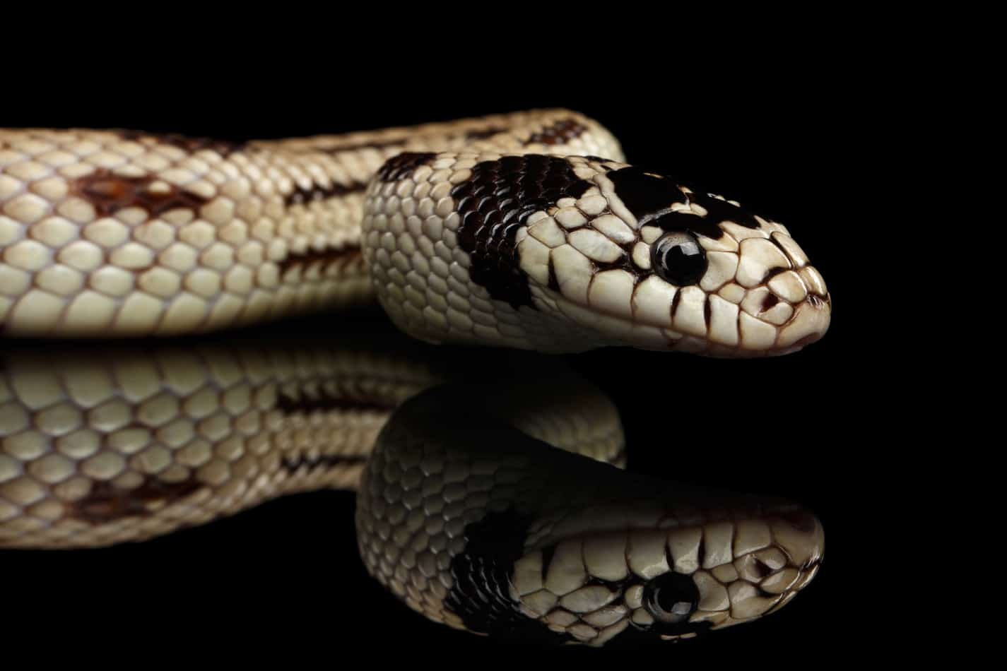 25 Cool Facts About King Snakes
