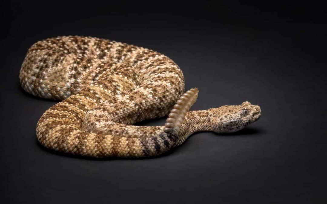 Species Profile: Mojave Rattlesnake