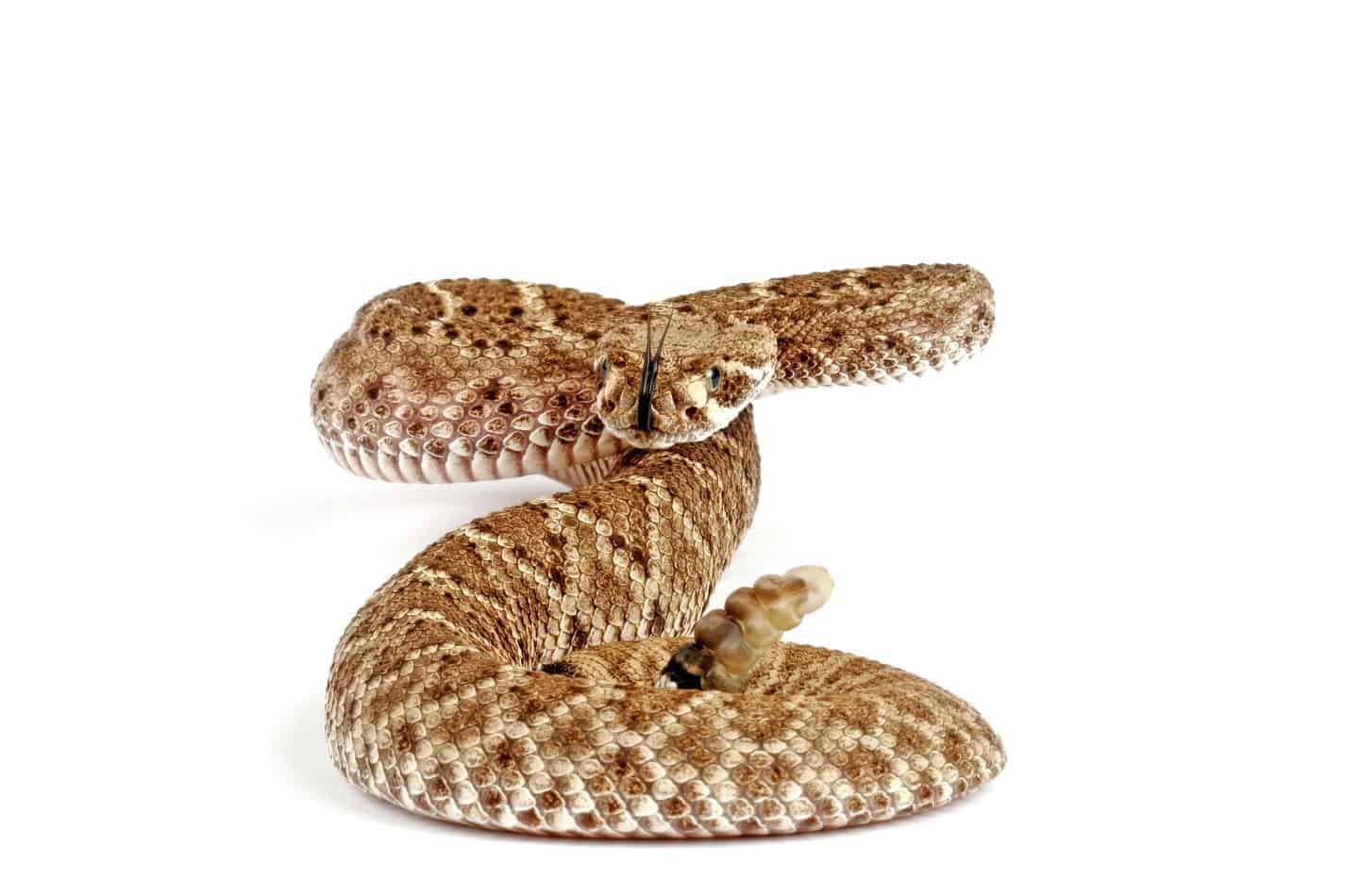 27 Fascinating Facts About Rattlesnakes (With Pictures)