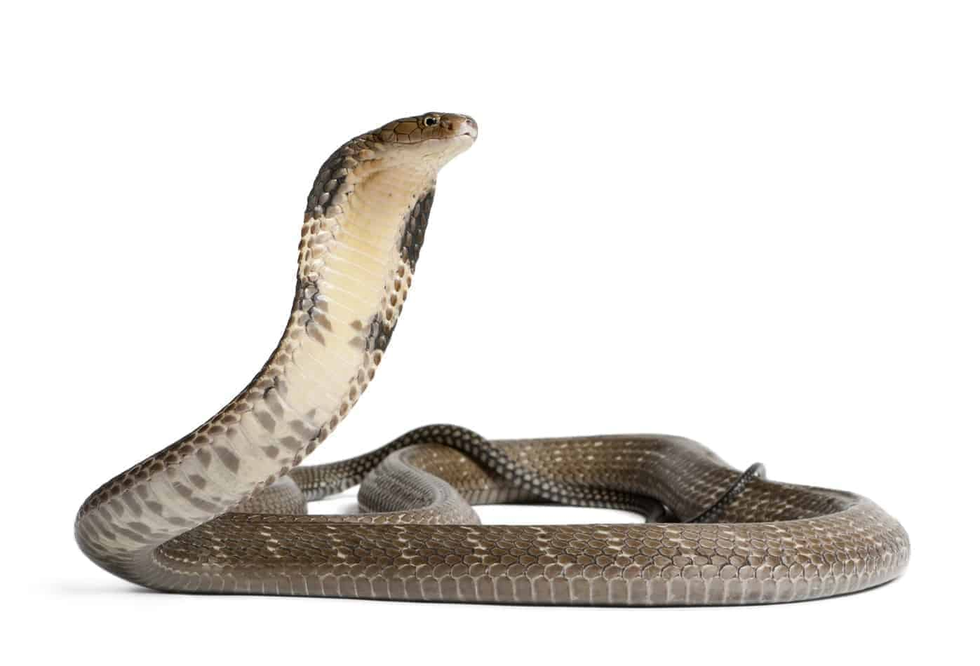 27 Interesting Facts About King Cobras (With Pictures)