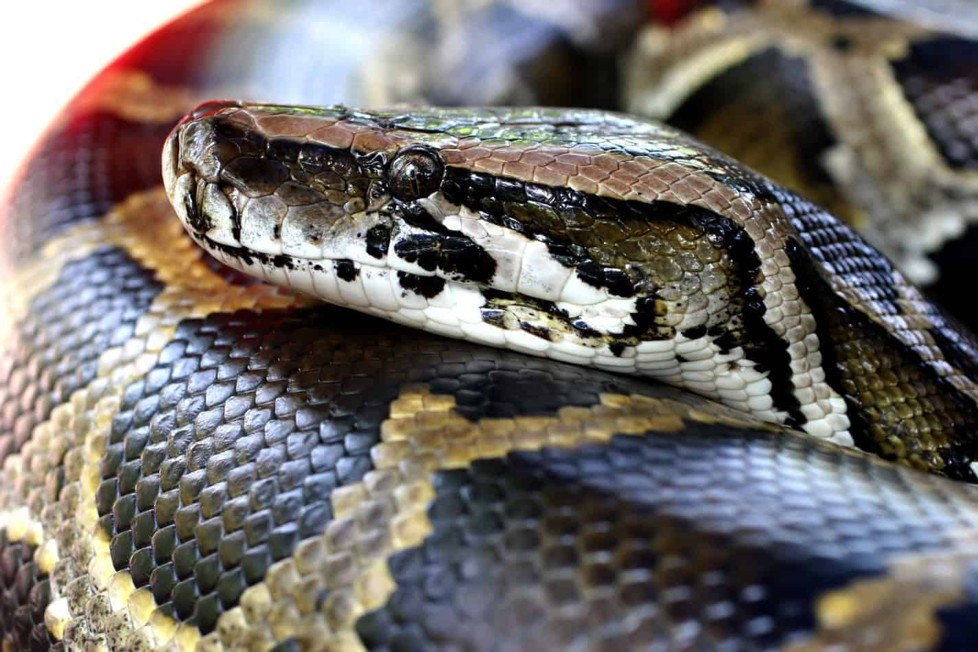 29 Interesting Facts About Burmese Pythons (With Pictures)