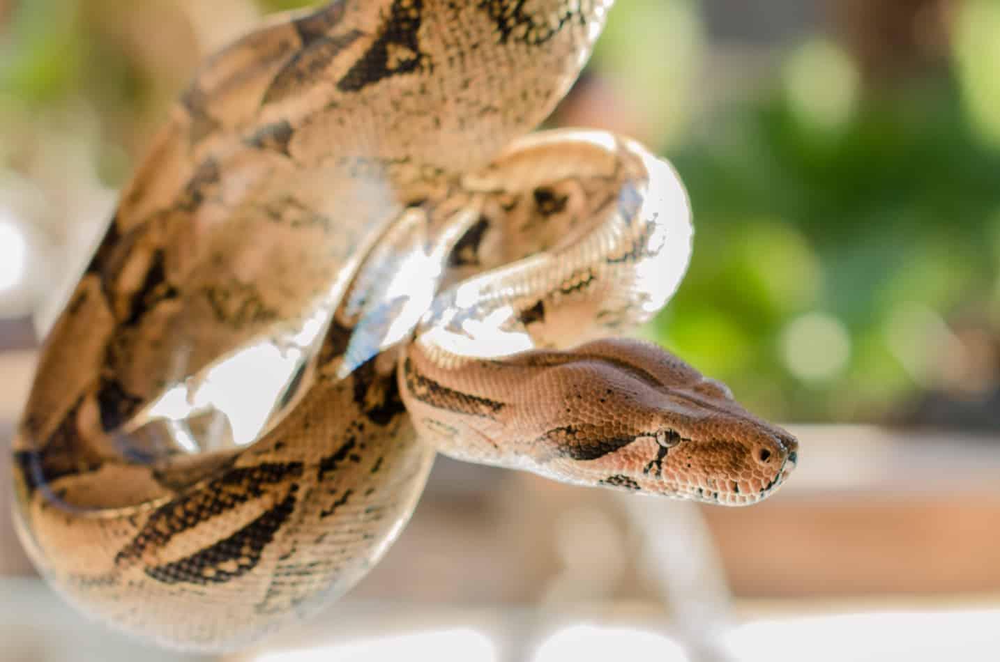 Are Boa Constrictors Poisonous?