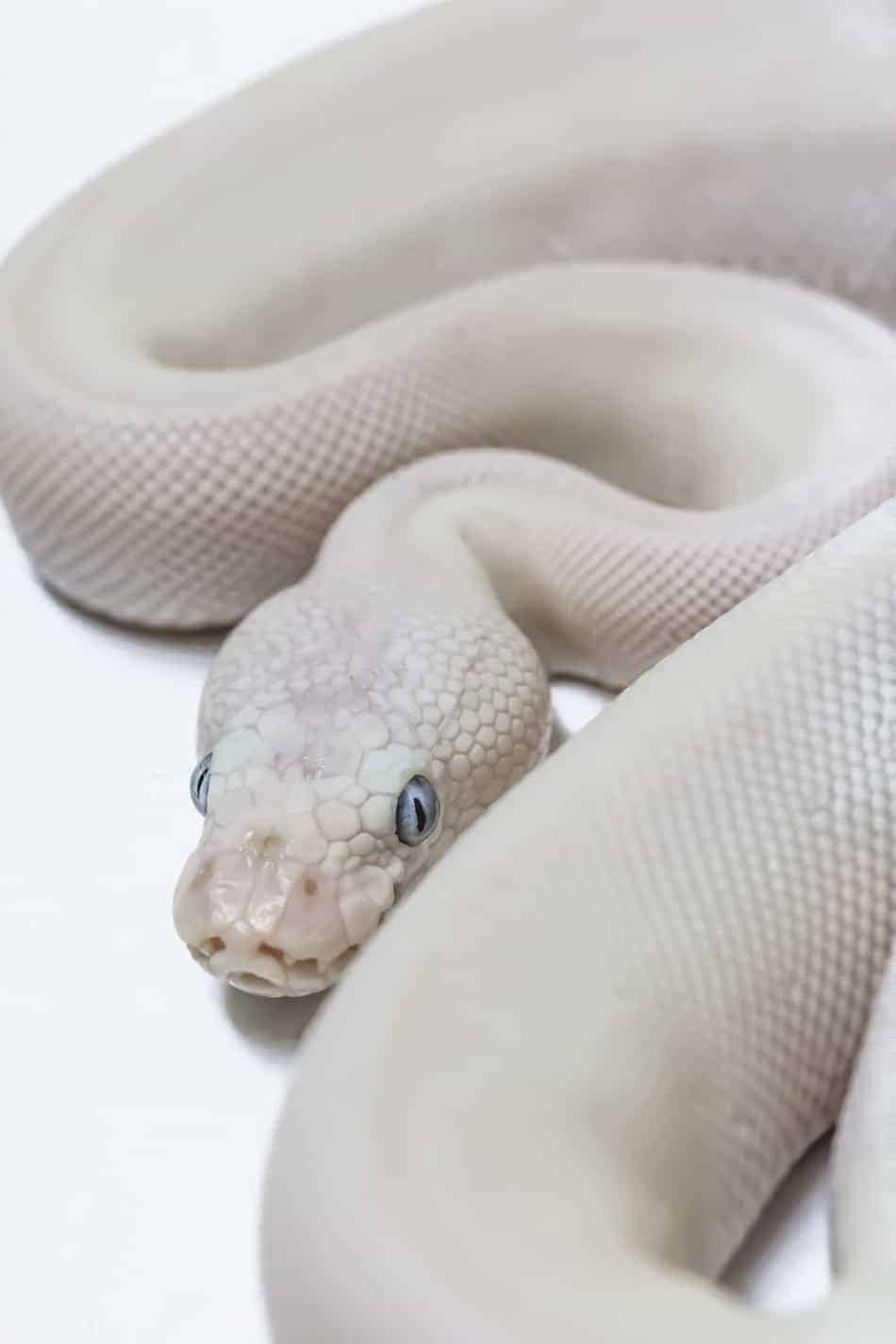 Blue Eyed Leucistic Ball Pythons: Everything You Need to Know