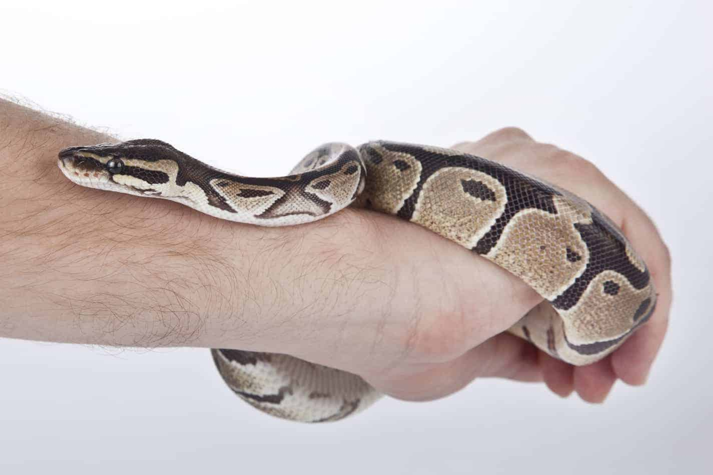 Buyer's Guide: Best Enclosures for Ball Pythons