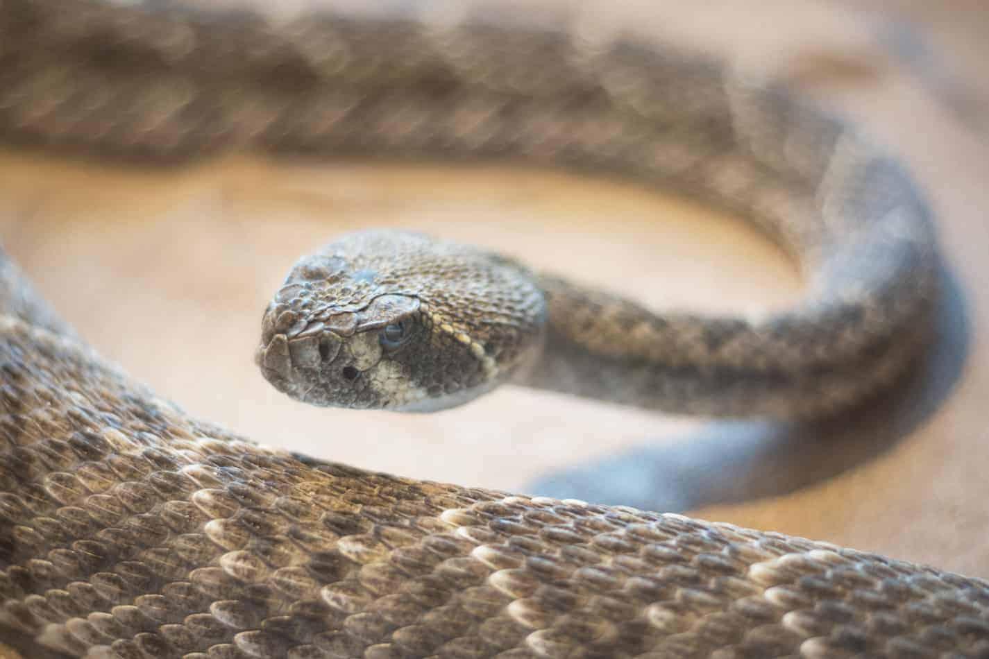 Can a Rattlesnake Kill a Dog?