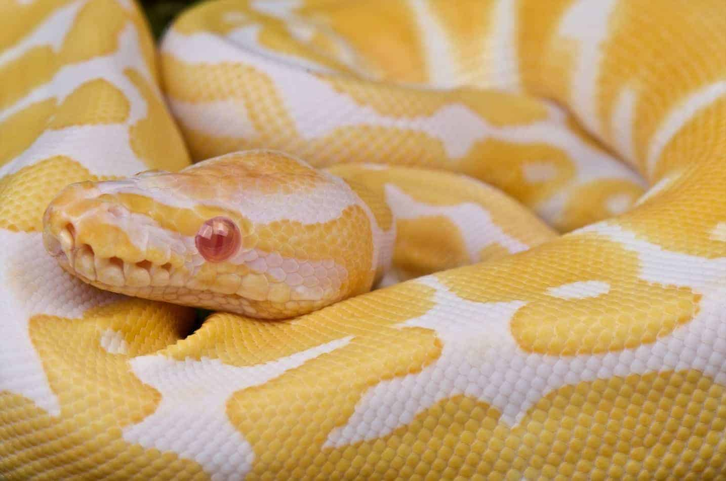 Everything You Need to Know About Snake Morphs