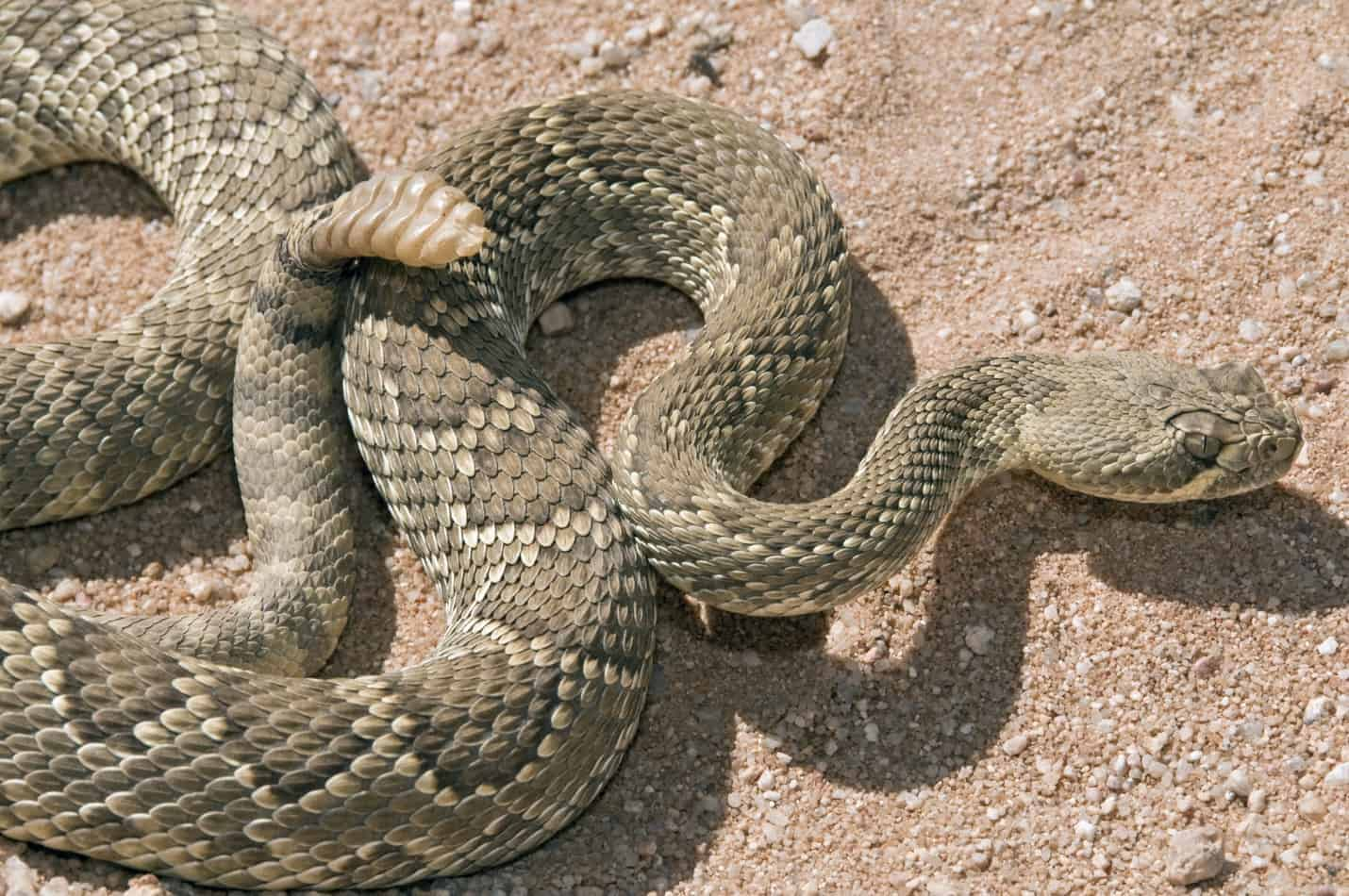 How Many Times a Year do Rattlesnakes Lay Eggs?