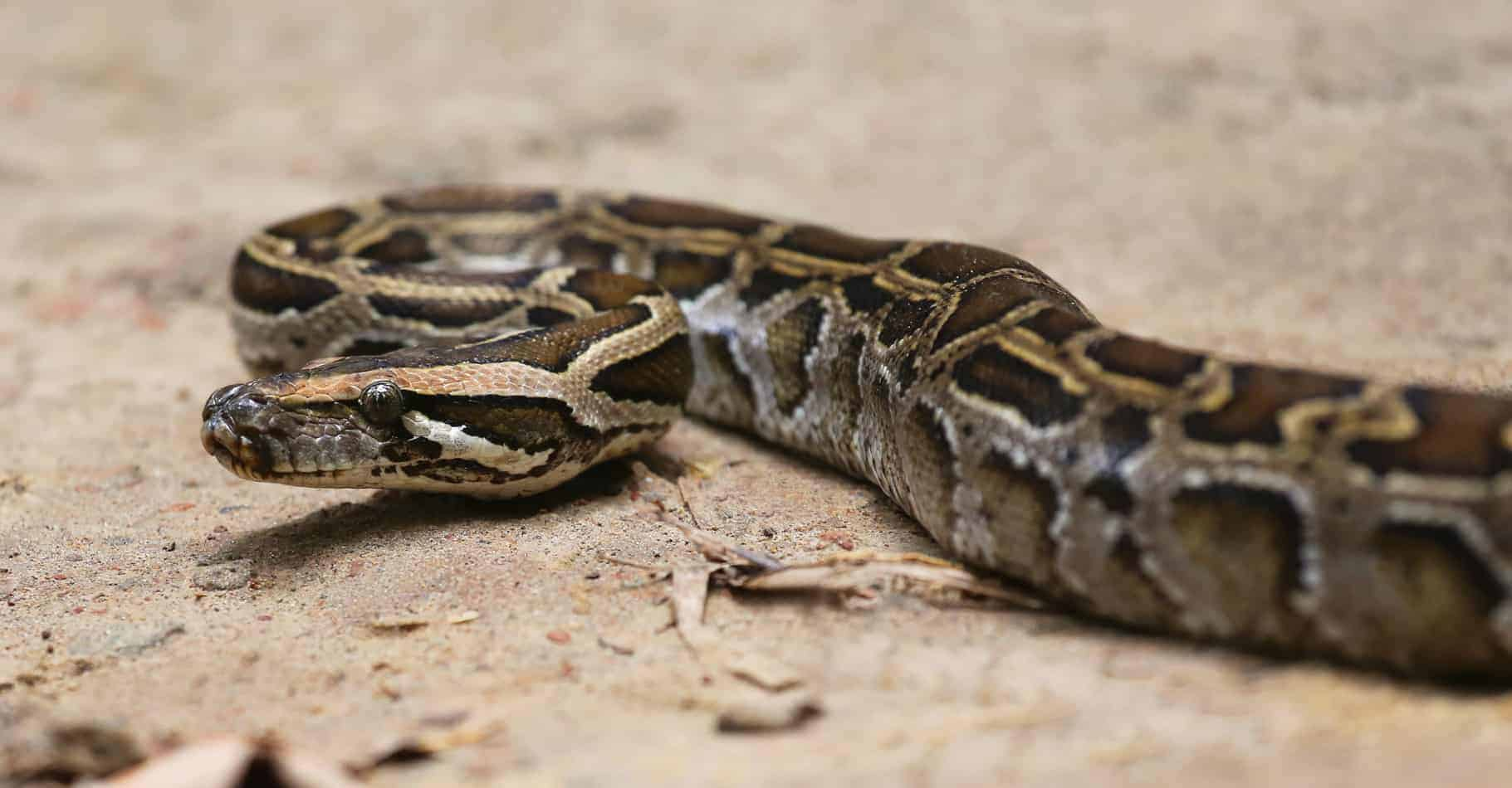 How Long do Burmese Pythons Get (and How Long it Takes Them to Grow)?