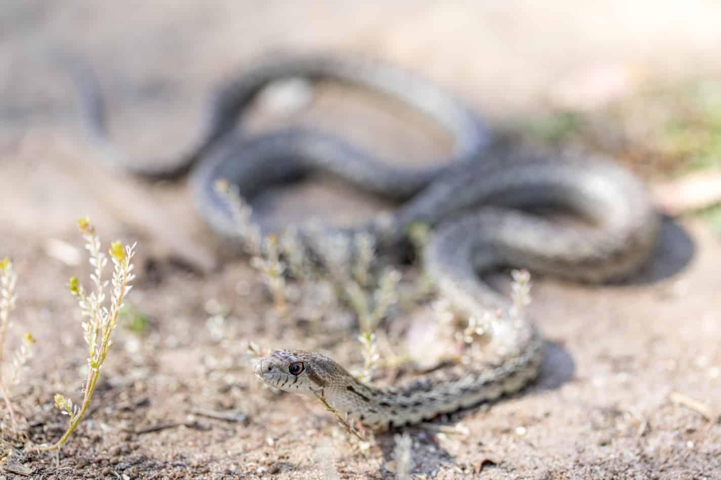 How Long Do Gopher Snakes Get?