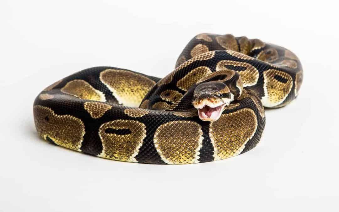 How to Feed a Ball Python (Schedule, Cost, and Tips)