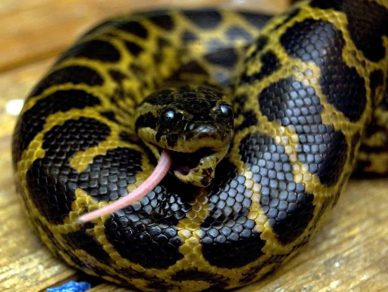 Is an Anaconda Poisonous?