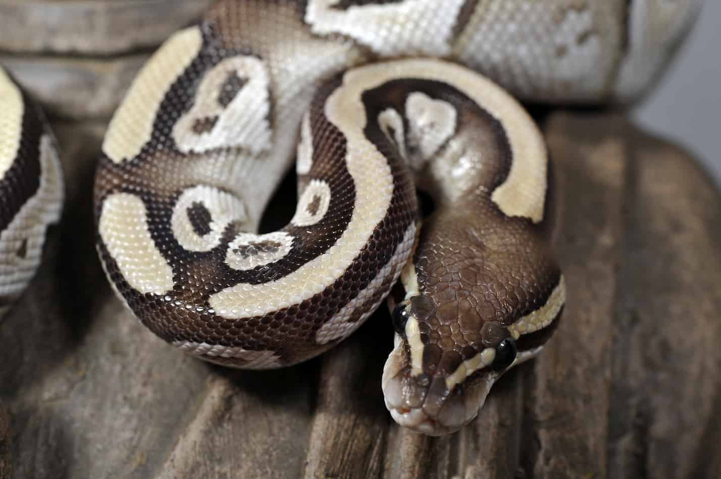 Mojave ball pythons 15 cool facts