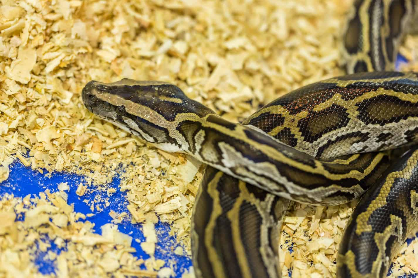 Recommended Terrarium Size for a Ball Python?