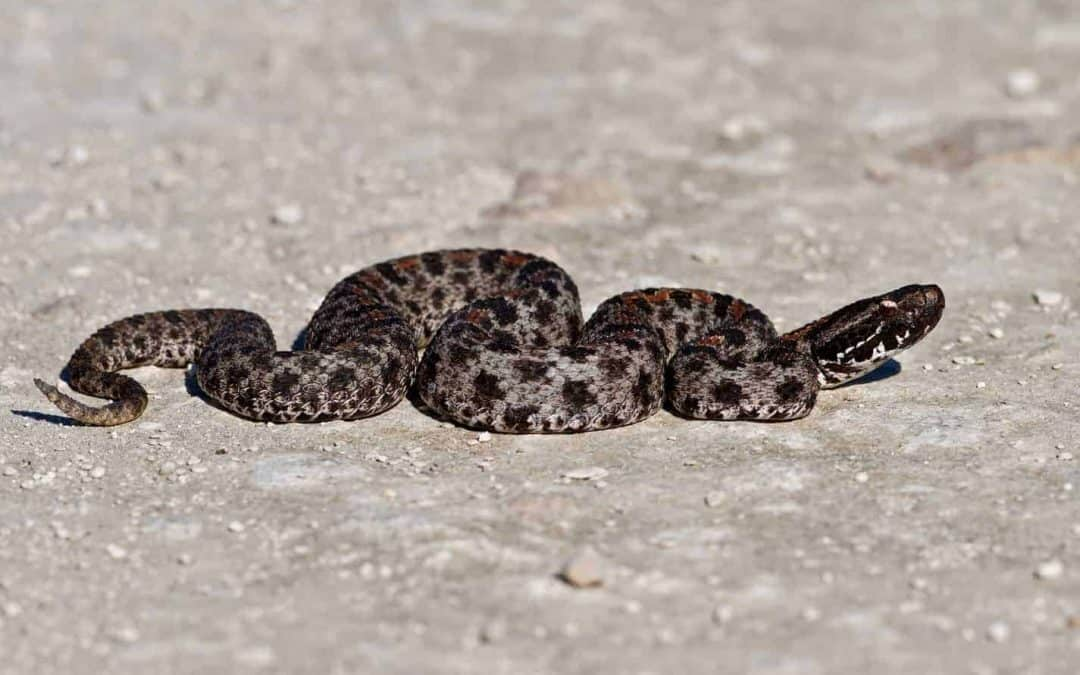 Species Profile: The Pygmy Rattlesnake