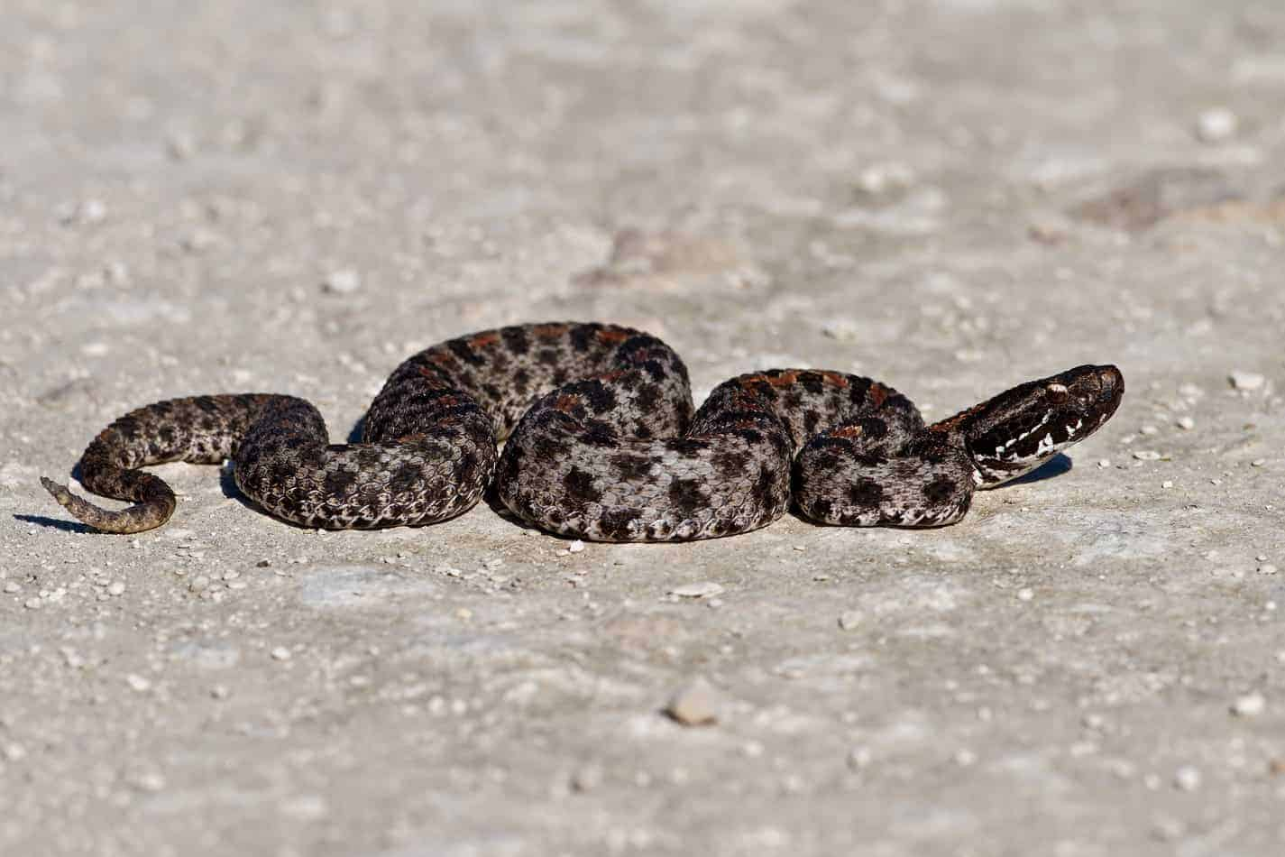 Species Profile: The Pygmy Rattlesnake