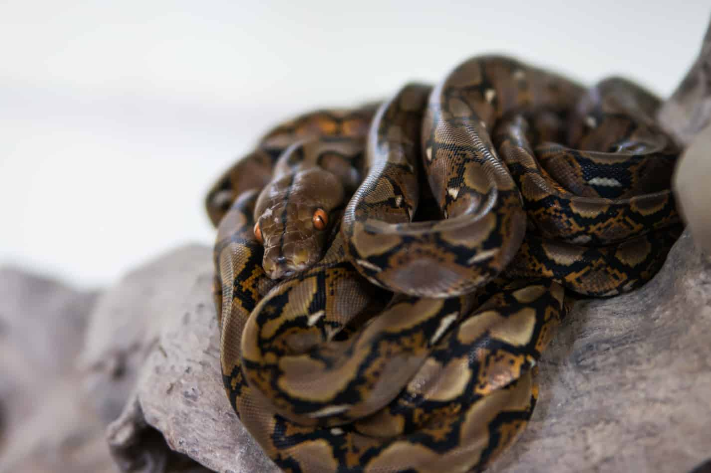 What's the Temperament of a Reticulated Python?