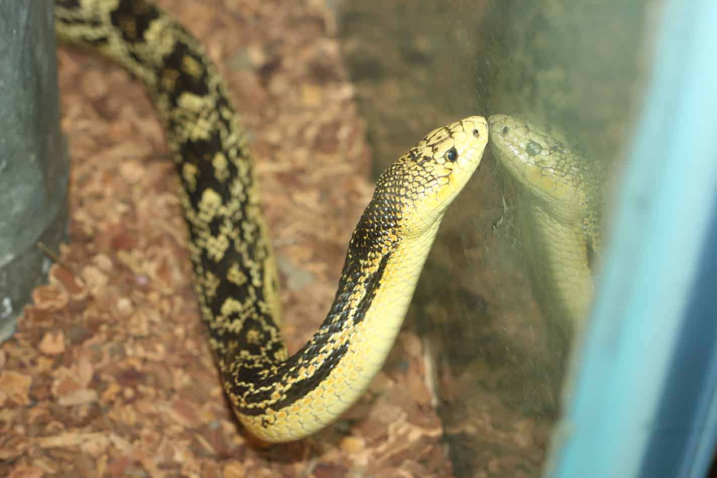 Will Pet Snakes in Your Home Make the Place Smell Bad?
