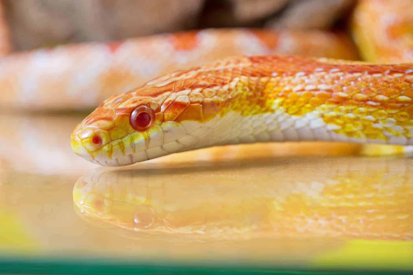 Albino Corn Snakes: A Guide with Pictures and Facts