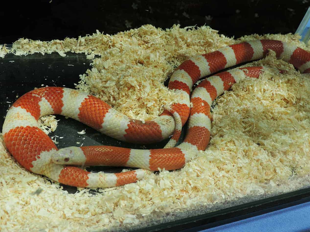 Are Milk Snakes a Good Pet?