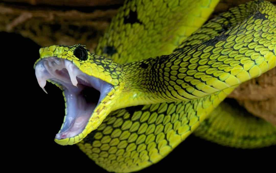Are Pet Snakes Defanged?