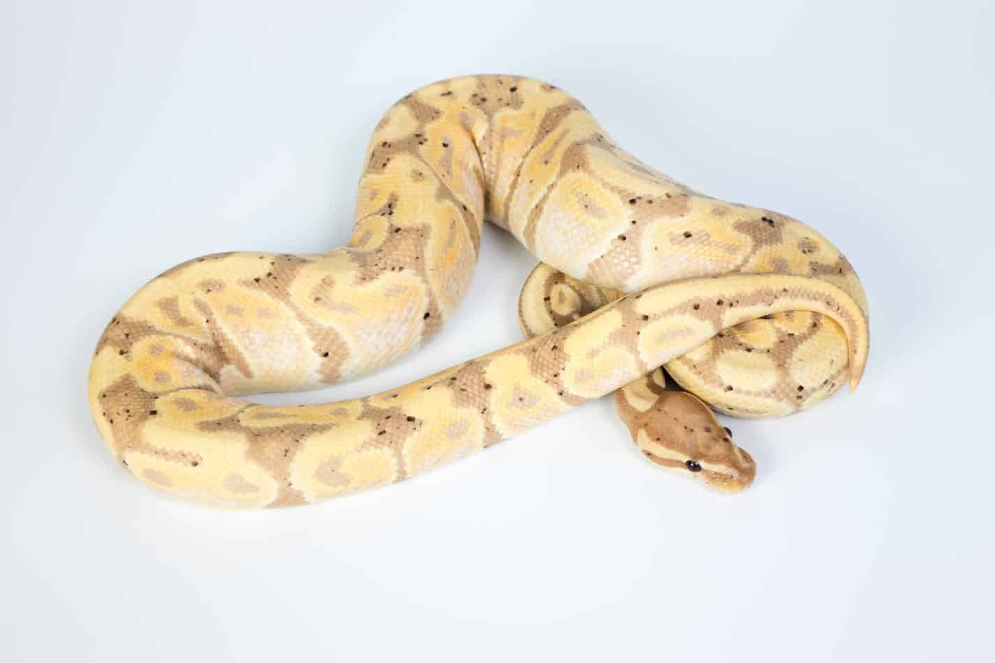 Ball Python Morphs: A Complete List with Pictures